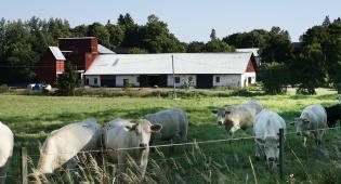 Lehmiä laiduntamassa kesällä, taustalla navetta.