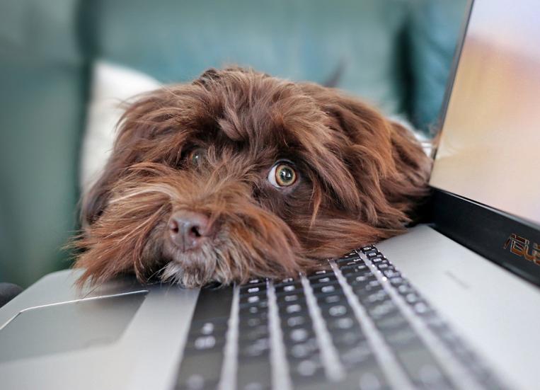 Kuvassa koira nojaa päätään läppärin näppäimistölle ja katsoo anovasti.